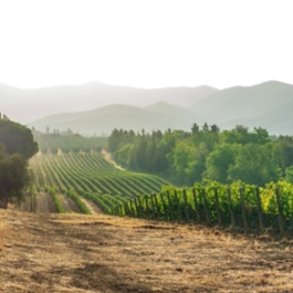 Vineyards in Livorno region (Tuscany) in the morning. Italy